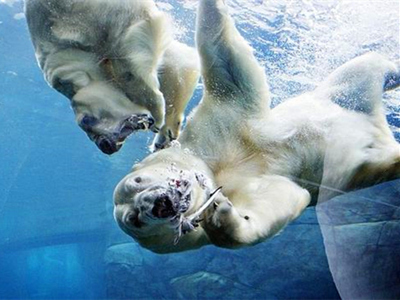 """丹麦动物园两北极熊""""离婚""""后""""无奈分居"""""""