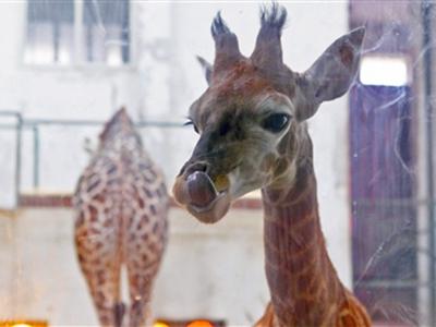 """成都动物园可爱小长颈鹿定名""""蜀秀"""""""