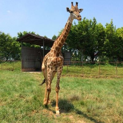 园作为东莞唯一一个动物主题公园,园区内的海豚,大象,长颈鹿,东北虎