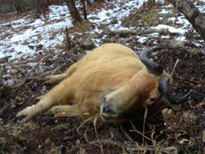 国家一级保护动物羚牛秦岭被下套勒死