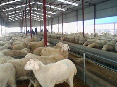 规模羊场的防疫要点