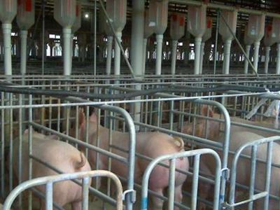 RFID养猪
