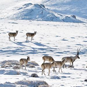 西藏羌塘自然保护区成野生动物乐园
