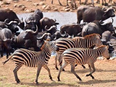 """肯尼亚开展野生动物""""人口普查"""""""