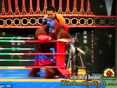 泰国动物园红毛猩猩拳击表演遭强烈批评