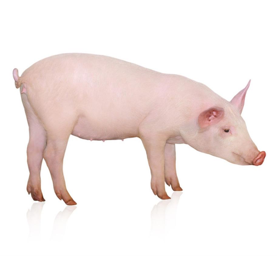 猪价走势趋稳 生猪价格有上调迹象