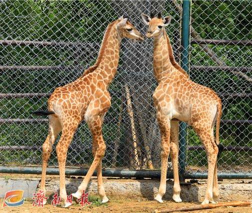 济南野生动物世界喜添两只小长颈鹿